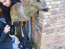 Ree knalt tegen raam in Wolfheze na hondenaanval