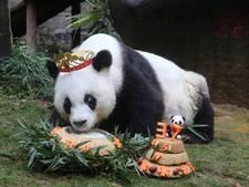 Feestje voor Basi (37), de oudste in gevangenschap levende panda