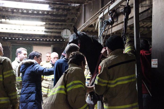 De 12-jarige merrie wordt door brandweerlieden weer overeind geholpen.