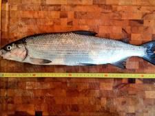 'Uitgestorven' vis uit wateren Amsterdam West gevist
