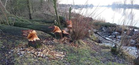 Bevers leggen bomen plat langs Maas
