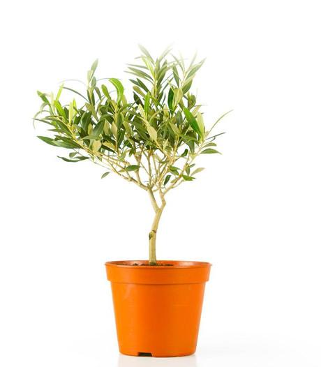 Laat dit schattige boompje in Italië!