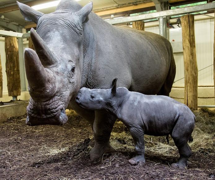De jonge neushoorn Thomas met zijn moeder Kwanzaa in het binnenverblijf.