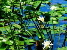 Waterschap in actie tegen vijverplanten