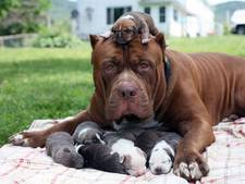 Puppy's grootste pitbull ter wereld worden elk een ton waard