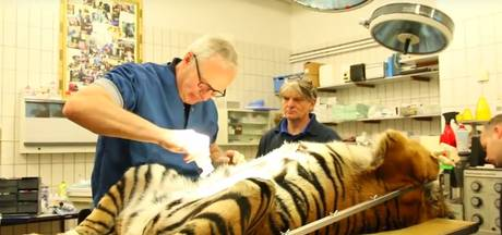 Burgers' Zoo zet beelden sterilisatie Sumatraanse tijger online