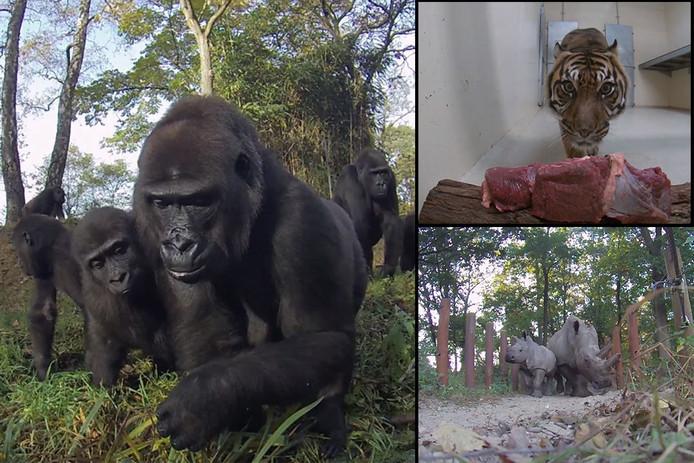 De gorilla's, tijgers en neushoorns die werden vastgelegd met de GoPro door Burgers' Zoo.