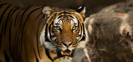 Siberische tijgers verslinden vrouw in Chinees natuurpark