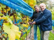 Vrijwilligers oogsten 2000 kilo Johanniter druiven