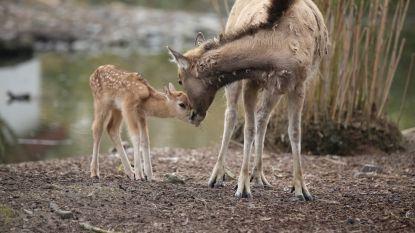 Uitgestorven in het wild, maar pas geboren in Pairi Daiza