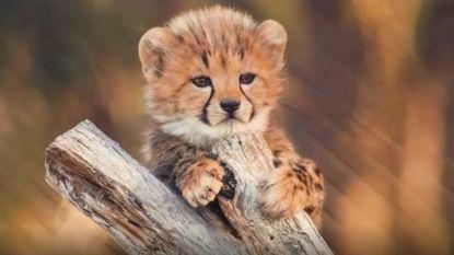 Zo schattig: 6 luipaardwelpjes geboren in Australische zoo en ze verkennen volop nieuwe omgeving