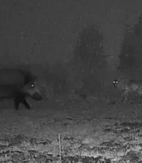 Les images exceptionnelles d'une rencontre entre des loups et un sanglier dans le Limbourg