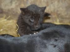 BestZoo laat pasgeboren zwart jaguarwelpje kennismaken met publiek