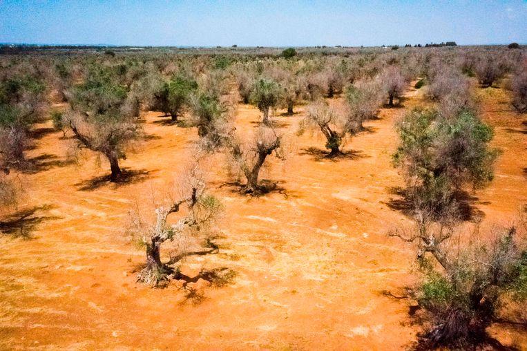 De door insecten verspreide bacterie richtte al erg veel schade aan in de Zuid-Italiaanse regio Apulië.