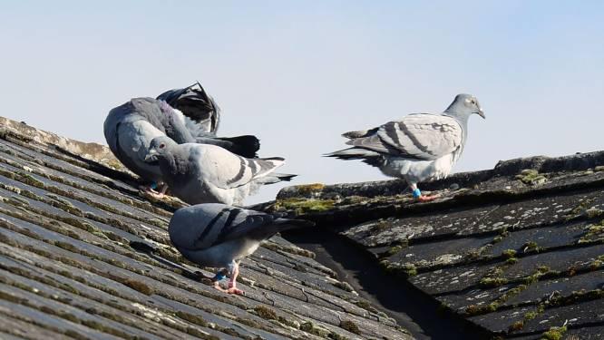 """Leuvense duiven massaal aan 'de pil', en het werkt: """"Populatie met meer dan de helft gekrompen"""""""