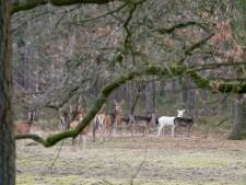Wit hert gespot op de Veluwe: 'dat is heel uitzonderlijk'