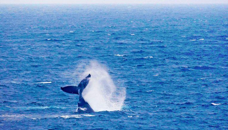 Een bultrugwalvis in de Indische oceaan. Beeld anp