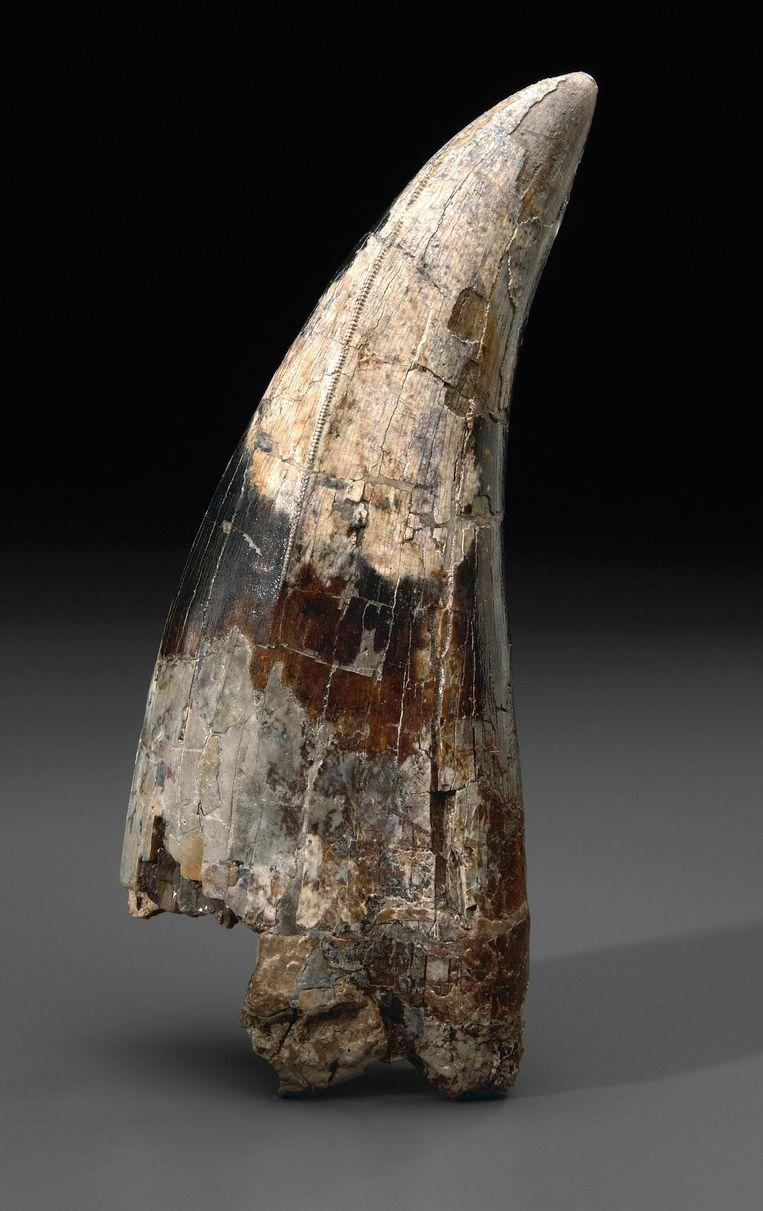 Een tand van een tyrannosaurus rex, van vermoedelijk 65 miljoen jaar oud.