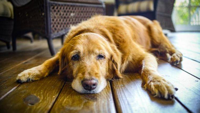 Zo Bereken Je Hoe Oud Je Hond Echt Is In Mensenjaren Dieren