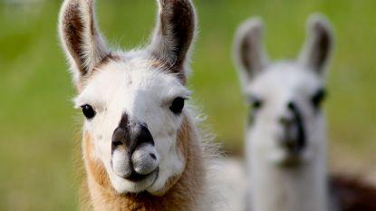 Nieuwe medicijnen miljarden waard dankzij... lama's