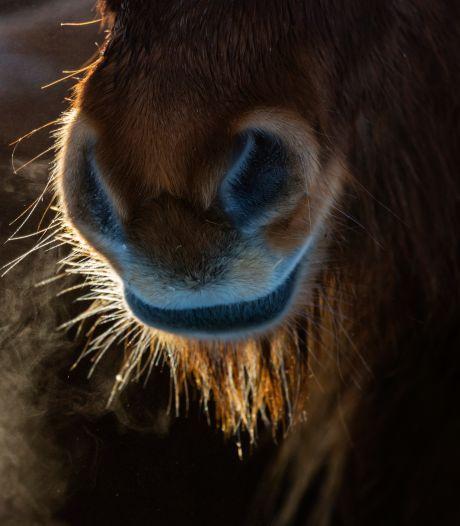 Dierenbeul slaat toe in Park Schothorst: geslachtsdeel van paard ernstig verwond