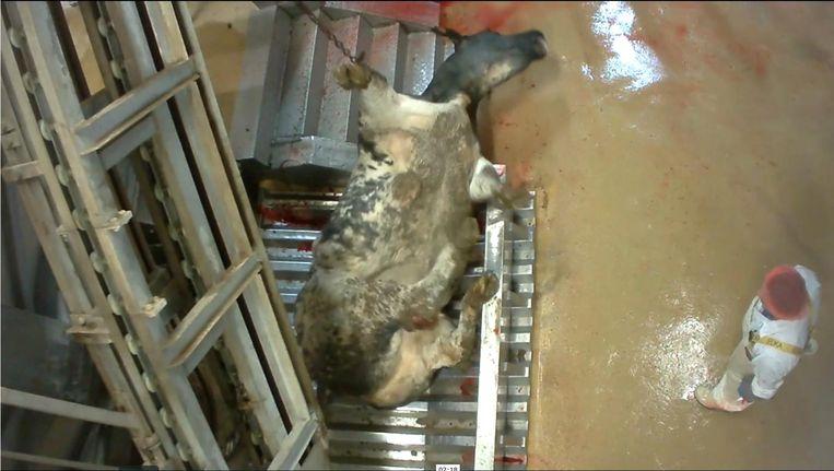 Beeld uit de video die Animal Rights heeft gepubliceerd. Beeld Videobeeld / Animal Rights