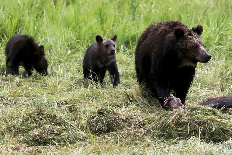 Een grizzly beer met twee welpen. (archieffoto)