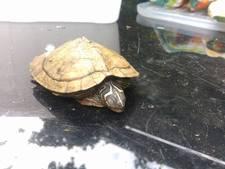 Tientallen gedumpte schildpadden van de weg geplukt in de Achterhoek