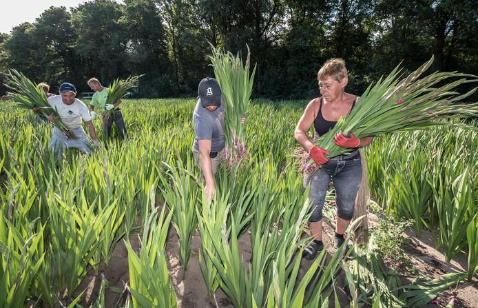 Medewerkers van bloembollenkwekerij Theunissen zijn aan de Parksesteeg in Overasselt bezig met het oogsten van gladiolen.