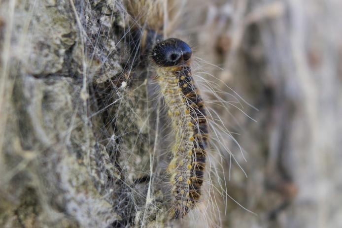 Een close-up foto van de eikenprocessierups, de haartjes zijn zichtbaar.