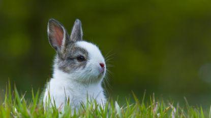 'Herman de Viller' wil live op Facebook konijn villen