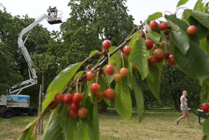 Biologische kersenhoogstamboomgaard op landgoed Soelen.
