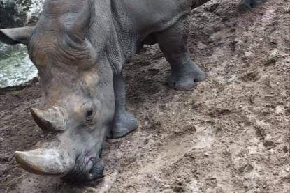 """Franse neushoorn Noëlle bekrast met twee namen: """"Ronduit walgelijk misdrijf"""""""