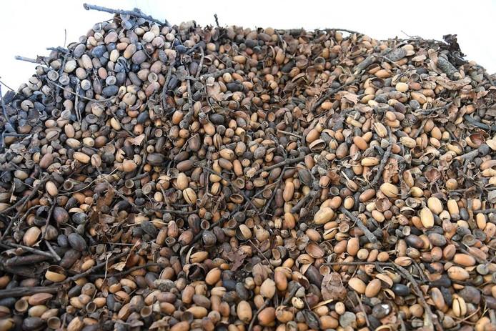 Miljoenen eikels zijn te oogsten in Sint Anthonis.