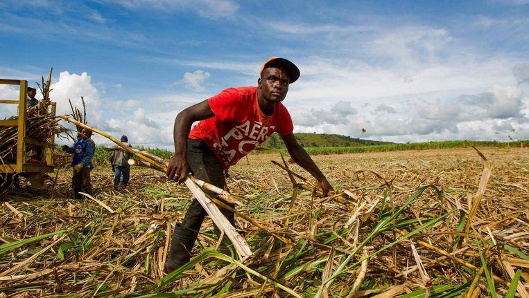 De afgelopen jarne zijn duizenden suikerrietkappers in Midden-Amerika overleden aan de nierziekte CKDu. Beeld afp