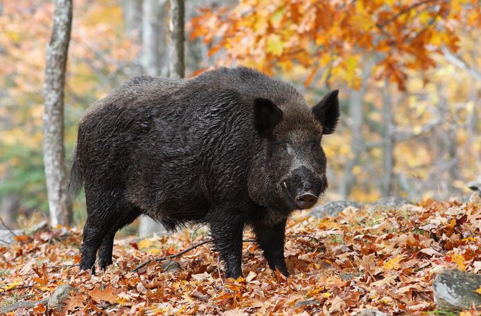 In België is bij twee wilde everzwijnen de Afrikaanse varkenspest vastgesteld. (archieffoto)