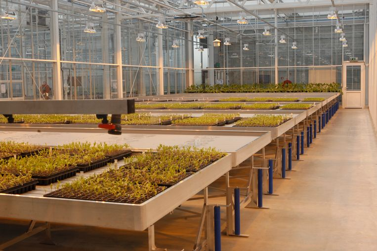 In de serres van het onderzoekscentrum, in totaal meer dan vier voetbalvelden groot, worden suikerbietzaden gekweekt.