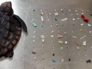 Un bébé tortue retrouvé mort avec 104 morceaux de plastique dans l'estomac