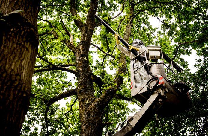 Een boomverzorger bestrijdt de eikenprocessierups in Amsterdam-Zuidoost.