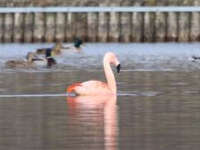 Verdwaald? Flamingo gespot op Het Lageveld in Wierden