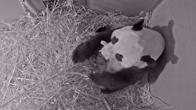 In Ouwehands Dierenpark is een reuzenpanda geboren. Beeld AP