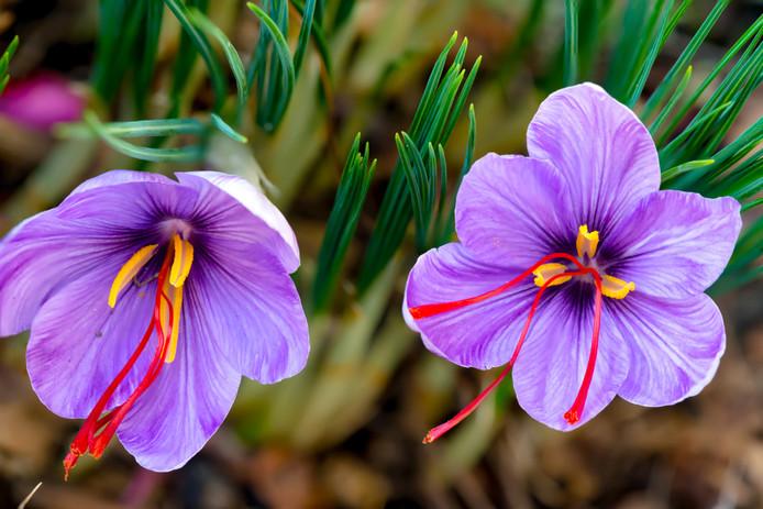 De saffraankrokus is herfstfavoriet bij Romke van de Kaa.