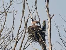 Ganzen pikken nest in van visarenden in Biesbosch