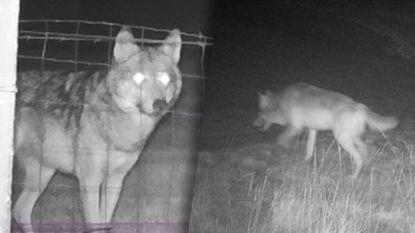 """Jachtverbod in militaire domeinen zodat wolvenpaar kan paren? """"Compleet overdreven en totaal ongepast"""""""