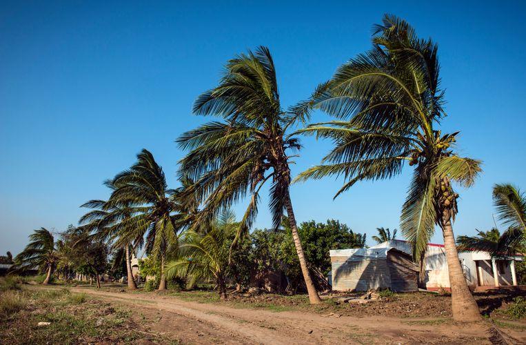 De palmen die windstoten tot 170 kilometer per uur overleefden staan sinds Idai veelal structureel dezelfde kant opgewaaid. Beeld Bram Lammers