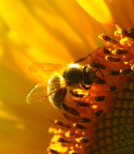 Veghelse deskundige: Bijenhotels in Uden voldoen vaak niet