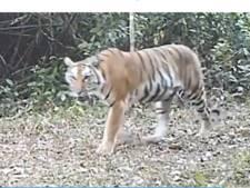 Zeldzame tijgersoort vastgelegd in jungle van Thailand