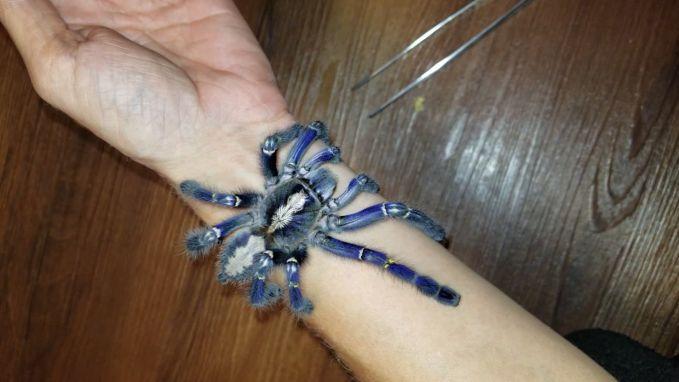Niet voor arachnofoben: deze bedreigde blauwe tarantula maakt wandeling op arm van baasje
