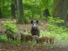 Boswachters Veluwe staan op scherp  om jonge dieren te beschermen