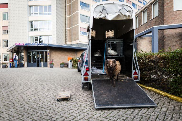 Dieren van de Swiffers Hoeve worden uitgeladen bij verzorgingshuis 't Huis aan de Poel.  Beeld Tammy van Nerum